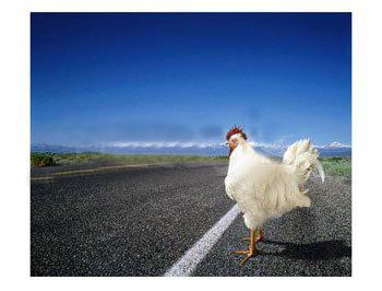 Chicken_at_road